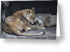 Lioness's Playing 2 Greeting Card