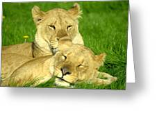 Lions Xvii Greeting Card