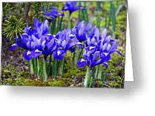 Little Baby Blue Irises Greeting Card