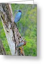 Little Blue And Green Heron Greeting Card