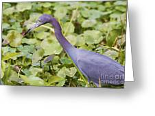 Little Blue At De Leon Springs Greeting Card