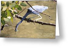 Tricolored Heron Fishing Greeting Card