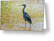Little Blue Heron In Weeds Greeting Card