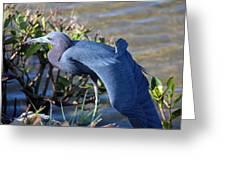 Little Blue Heron Sunbathing Greeting Card