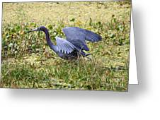 Little Blue Heron Walking In The Swamp Greeting Card