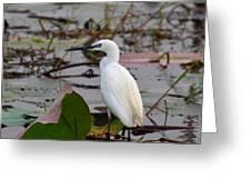 Little Egret 2 Greeting Card