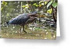 Little Green Heron With Fish Greeting Card