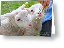 Little Lambs Eat Straw Not Ivy Greeting Card