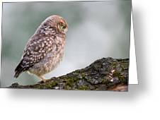 Little Owl Chick Practising Hunting Skills Greeting Card