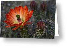 Little Red Claret Cup Flower  Greeting Card