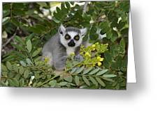 Little Ring-tailed Lemur Greeting Card