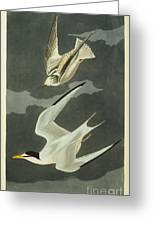 Little Tern Greeting Card