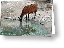Llama Sip Greeting Card