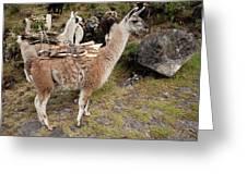 Llamas Carrying Firewood Greeting Card