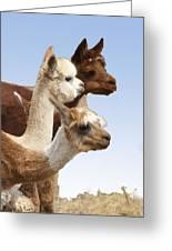 Llama's Three Greeting Card