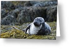 Loch Dunvegan's Harbor Seal Greeting Card