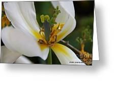 London White Tulip Greeting Card