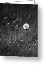 Lone Dandelion Black And White Greeting Card