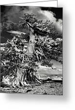 Lone Gnarled Old Bristlecone Pines At Crater Lake - Oregon Greeting Card