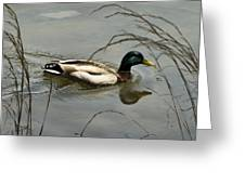 Lone Mallard Greeting Card