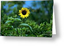 Lone Sunflower  Greeting Card