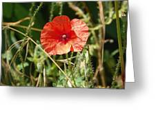 Lonesome Red Poppy Flower Greeting Card