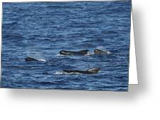 Long-finned Pilot Whales Greeting Card