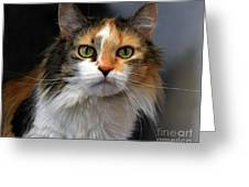 Long Haired Calico Cat Greeting Card