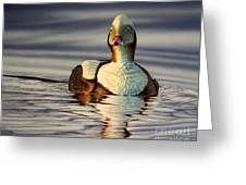 Long Tail Duck Greeting Card