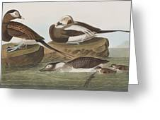 Long Tailed Duck Greeting Card