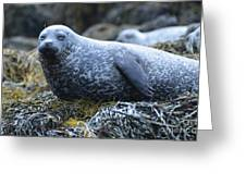 Long Whiskers On A Harbor Seal Greeting Card
