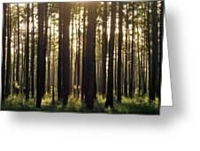 Longleaf Pine Forest Greeting Card