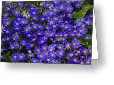 Longwood Hybrid Cineraria Greeting Card