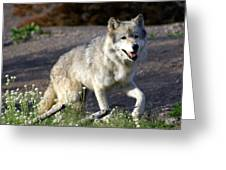 Lonly Wolf Greeting Card