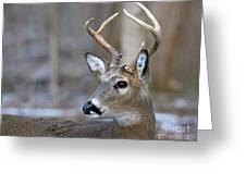 Looking Back Whitetail Deer Greeting Card