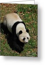Looking Down At A Cute Giant Panda Bear Greeting Card