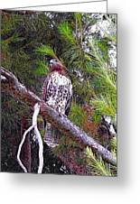 Looking For Prey - Red Tailed Hawk Greeting Card