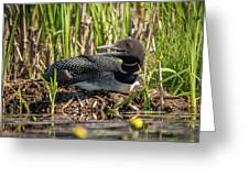 Loon On The Nest Greeting Card