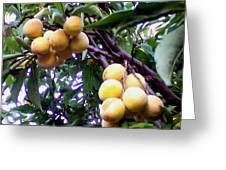 Loquats In The Tree 1 Greeting Card