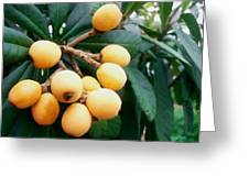 Loquats In The Tree 3 Greeting Card