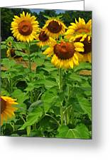 Louisa, Va. Sunflowers 3 Greeting Card