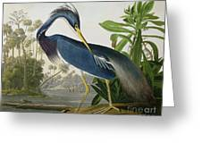 Louisiana Heron Greeting Card