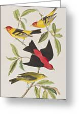 Louisiana Tanager Or Scarlet Tanager  Greeting Card
