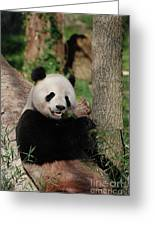 Lounging Giant Panda Bear With A Shoot Of Bamboo Greeting Card