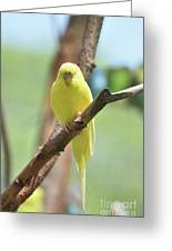 Lovable Yellow Budgie Parakeet Bird Up Close Greeting Card