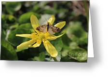 Tasting Marsh Marigold  Greeting Card