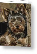 Loveable Yorkie  Greeting Card