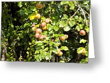 Lovely Apples On The Tree Greeting Card