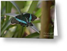 Lovely Blue And Black Emerald Swallowtail Buterfly Greeting Card