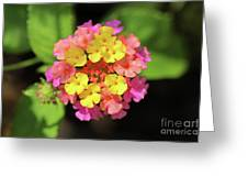 Lovely Lantana Greeting Card